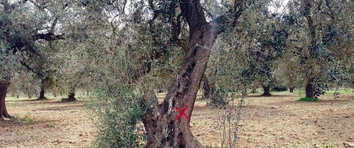 Xylella, Confagricoltura: Accelerare i tempi di attuazione del Piano straordinario per la rigenerazione olivicola della Puglia
