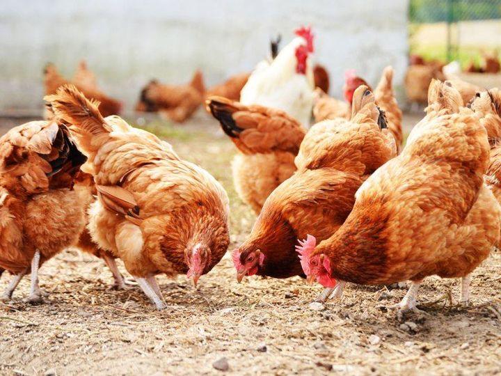 Rapporto Fao-Ocse 2020-2029: il comparto avicolo trainerà i consumi di carne