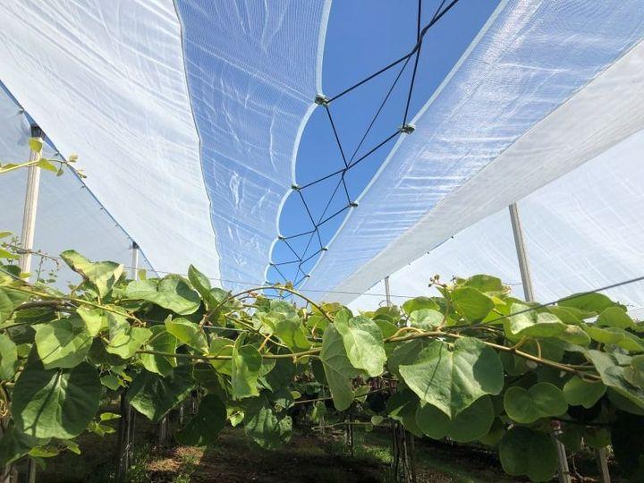 Arrigoni lancia un sistema completo di schermi protettivi per kiwi e ciliegie