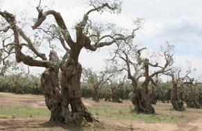 """Xylella, Confagricoltura: """"Apprezziamo l'impegno del commissario europeo Andriukaitis e del ministro Martina. L'obiettivo è il reimpianto degli olivi nel Salento il prima possibile"""""""