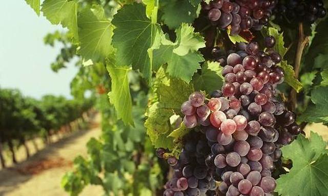 Il Testo Unico della vite e del vino