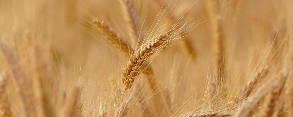 La filiera grano duro-pasta presenta i dati della campagna 2019/20: mappate oltre 150 mila tonn di grano duro per premiare l'approvvigionamento di materia prima nazionale di qualità