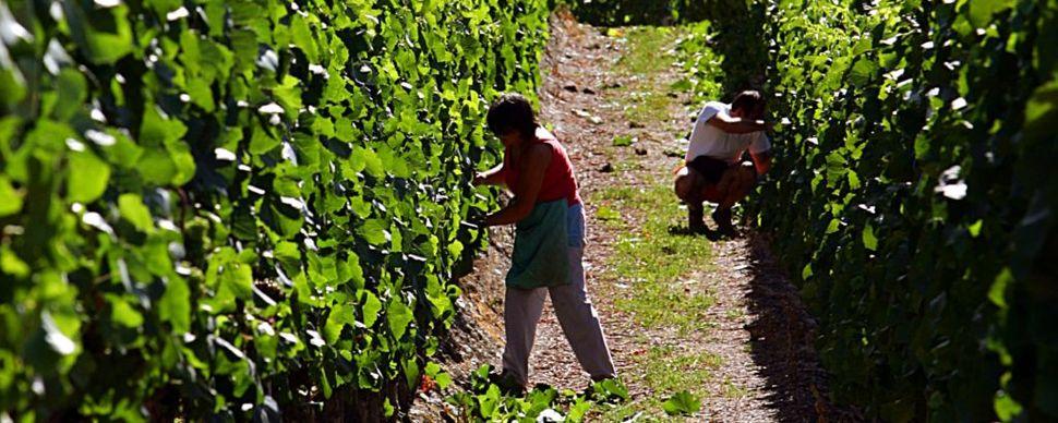 Green pass: Aziende agricole in slalom tra sicurezza e proseguimento attività. Occorrono soluzioni pratiche
